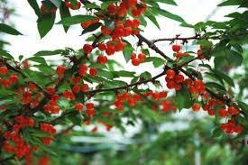 cherries-picking